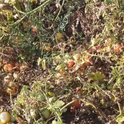 A crop of unharvested tomatoes