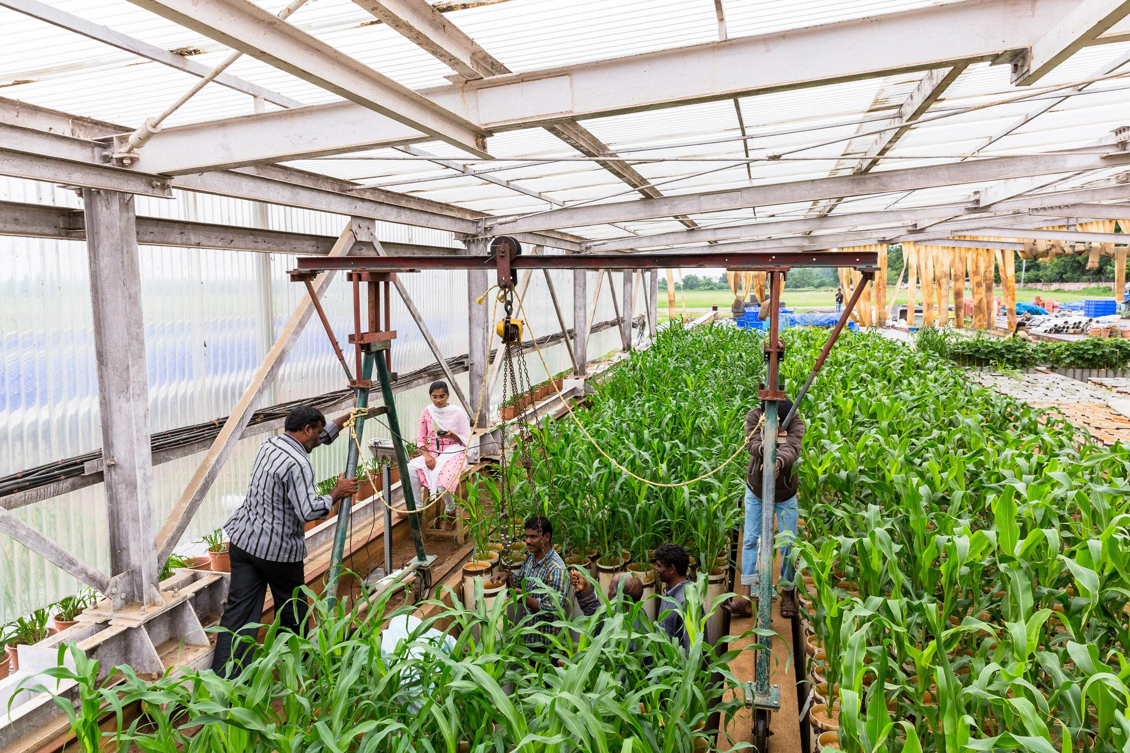 Millet plants